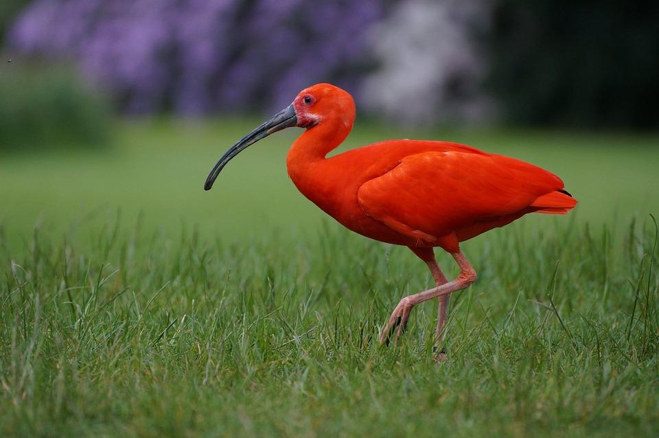 vogelpark walsrode rode ibis vogel - gratis foto op pixabay