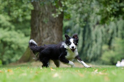 Border Collie, Running Dog, Young Dog