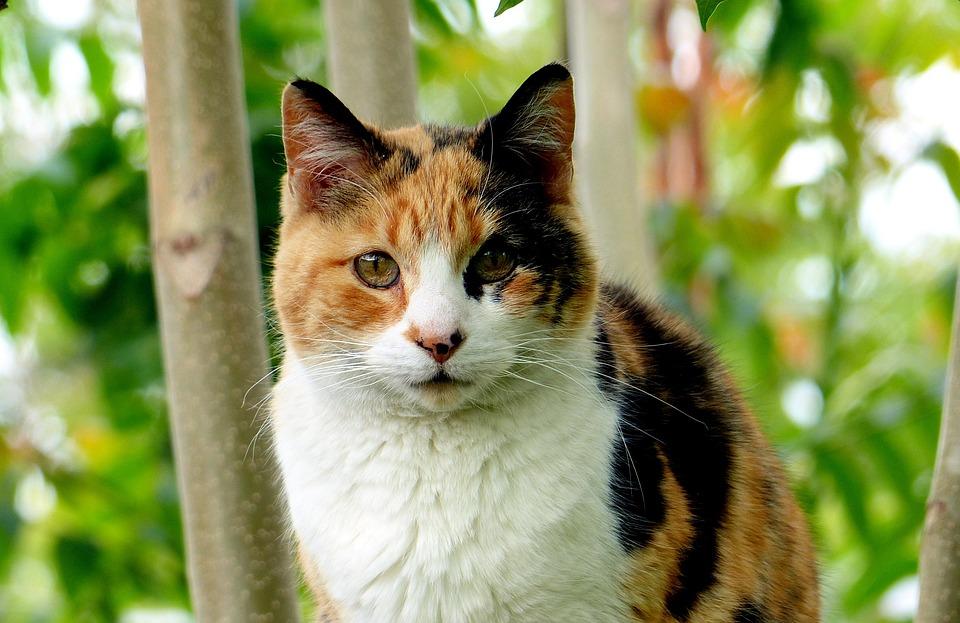 Warrior Cats Mandarin