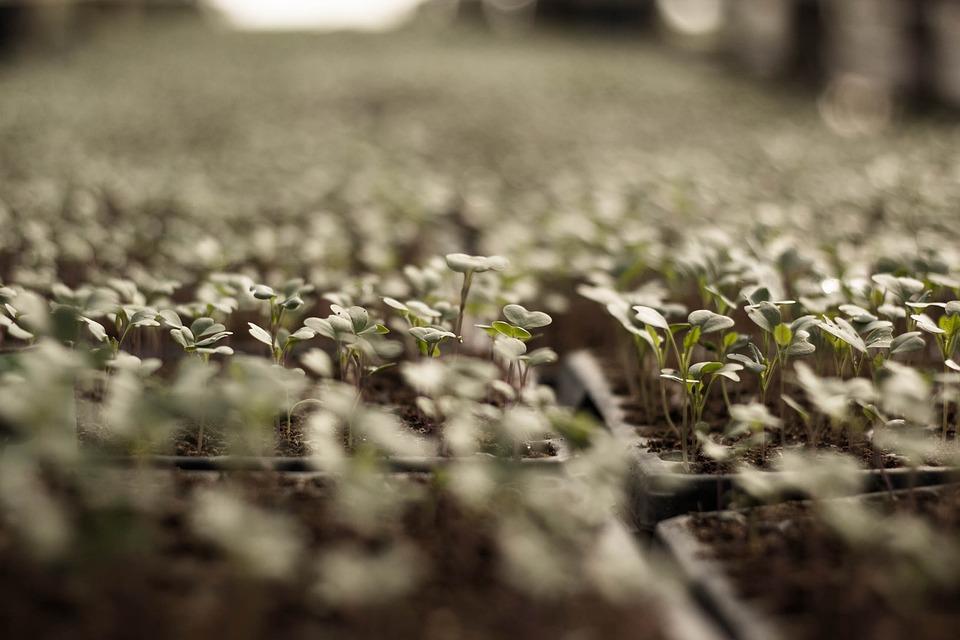 adubo de borras de café na horta