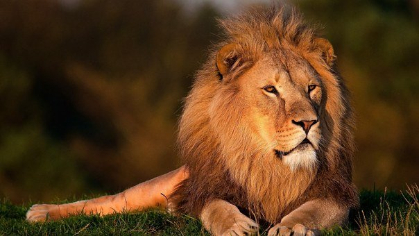 Lion Images Pixabay Download Free Pictures