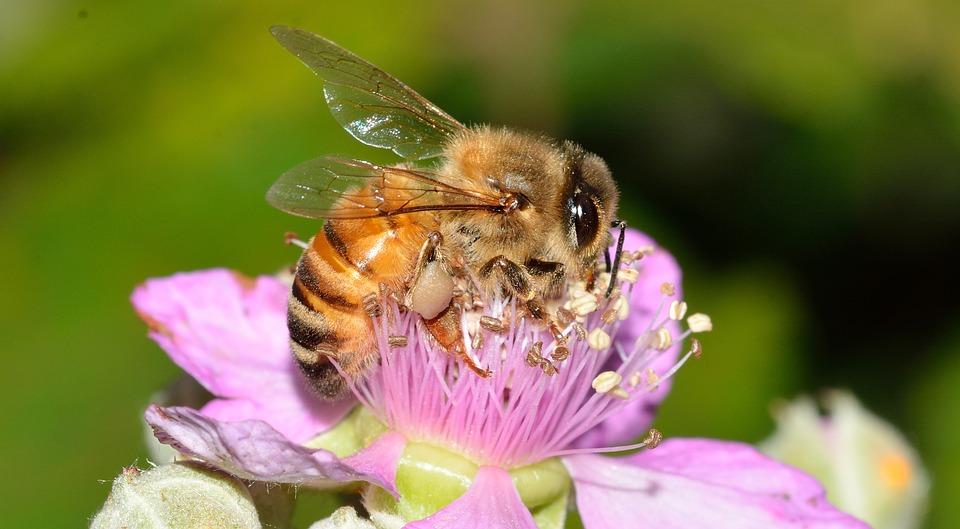 Hymenoptera, Abeja, Apis, Mellifera