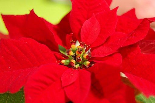 weihnachtsstern blume kostenlose bilder auf pixabay. Black Bedroom Furniture Sets. Home Design Ideas