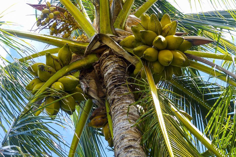 Photo gratuite noix de coco palm arbre image gratuite sur pixabay 796007 - Arbre noix de coco ...