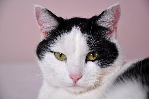 Katzen, Eine Normale Katze, Haustier