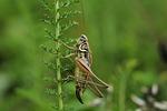 świerszcz, insekt, makro