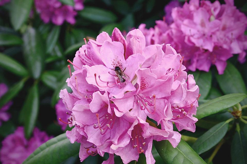 Free photo rhododendron plant flowers free image on for How to care for rhododendrons after blooming