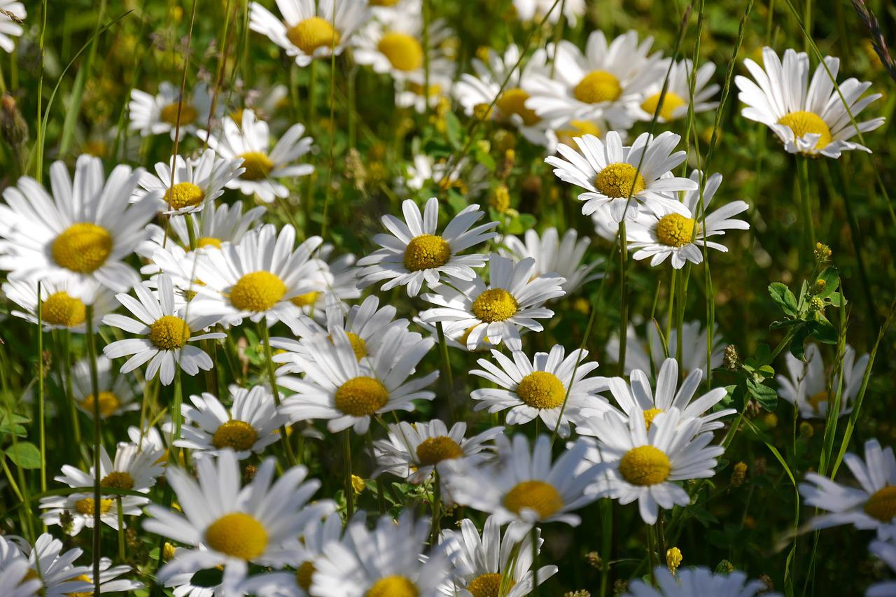 как называются белые цветы все лето цветут