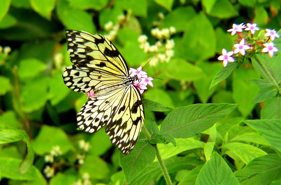 Kostenlose Illustration: Schmetterling, Garten, Blumen ... Blumen Schmetterlinge Im Garten