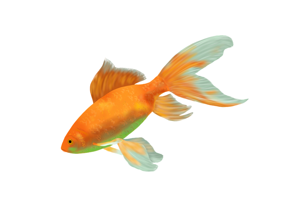 Goldfish fish gold free image on pixabay for Fish for gold