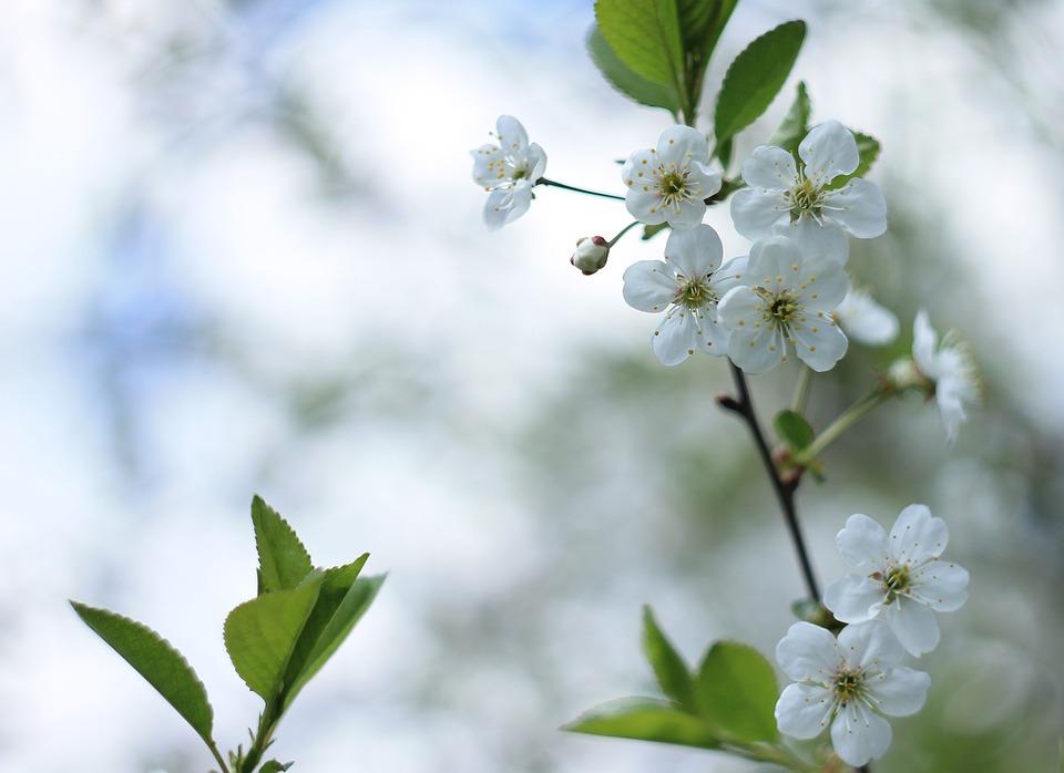 Kirschblumen Weiß Blüte · Kostenloses Foto auf Pixabay