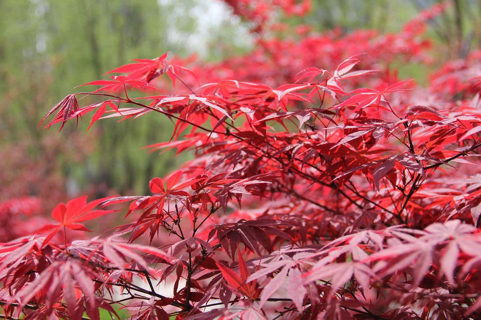 kostenloses foto rot rot ahorn ahorn landschaft kostenloses bild auf pixabay 800000. Black Bedroom Furniture Sets. Home Design Ideas