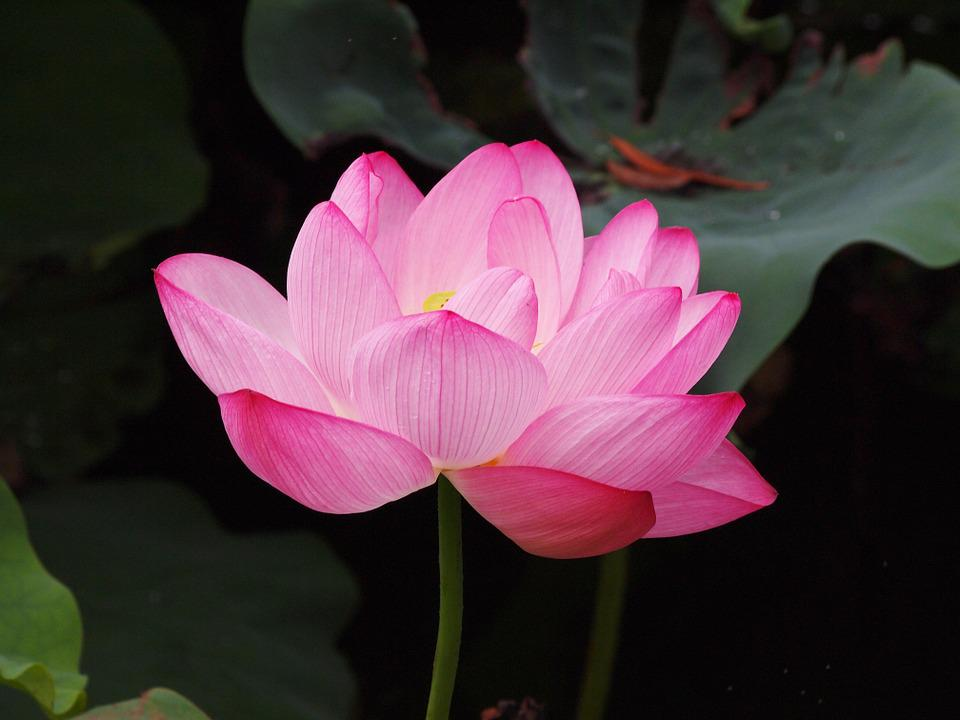 free photo lotus flower, pink, lotus  free image on pixabay, Beautiful flower