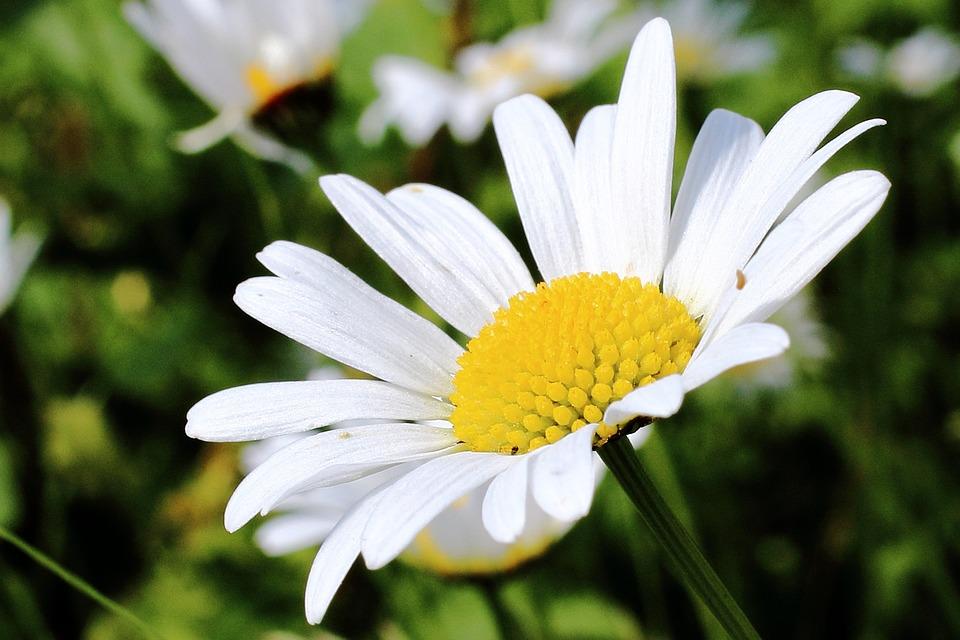 Photo gratuite marguerite fleur blanc jaune image - Image fleur marguerite ...
