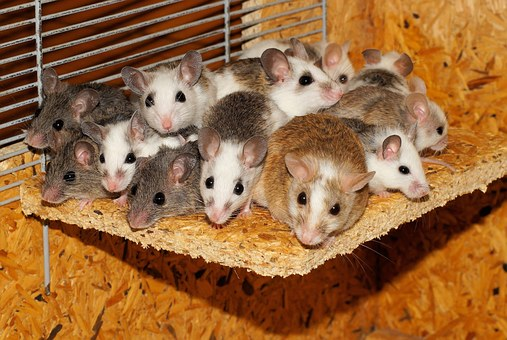 Mice, Mastomys, Family, Together