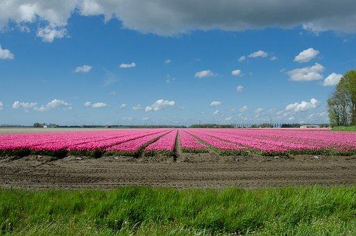 Tulip, Field, Dutch, Holland