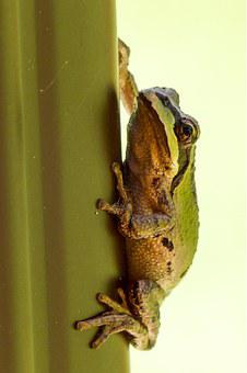 Tree Frog, Hanging, Clued, Green, Frog