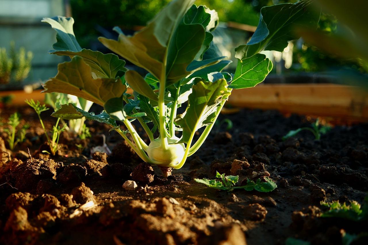 Kohlrabi Pflanze Garten