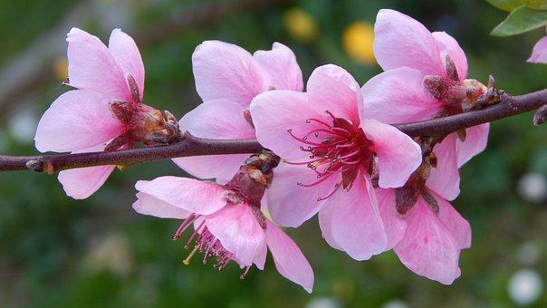 Peach Blossom, Květinové Větev, Jaro