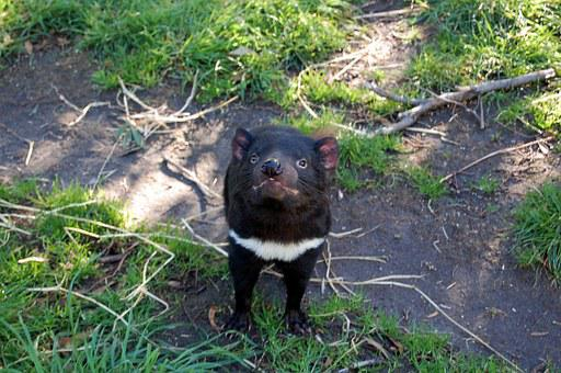 Tasmanian Devil Tasmania Animal Endangered