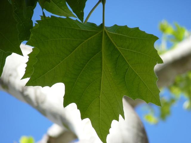 Foto gratis arce hoja hojas rbol verde imagen for Arboles de hoja perenne en galicia