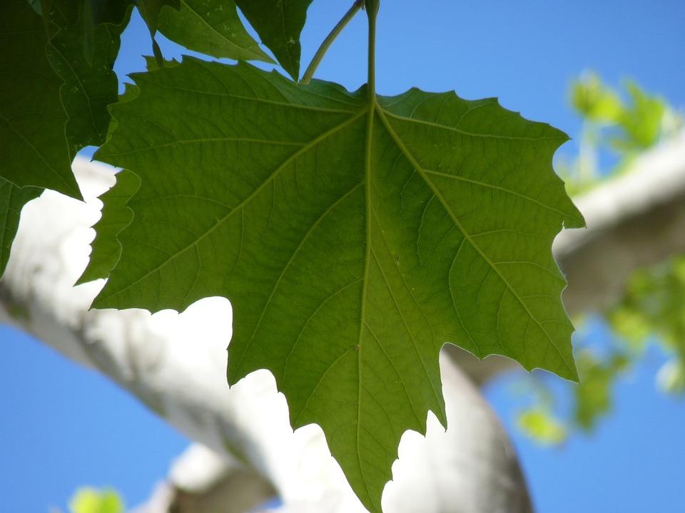 Foto gratis arce hoja hojas rbol verde imagen for Arboles de hojas perennes en chile