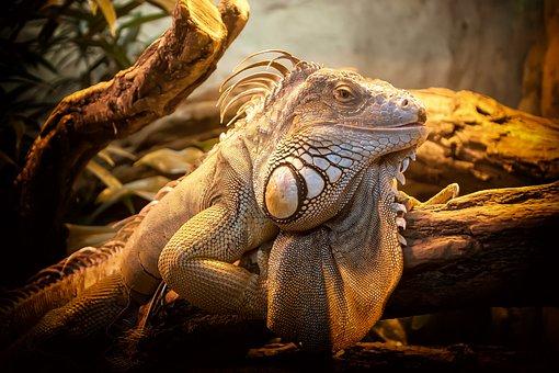 Lizard, Close Up, Nature, Reptile