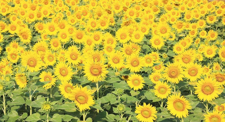 Sunflower Handling Autumn Background