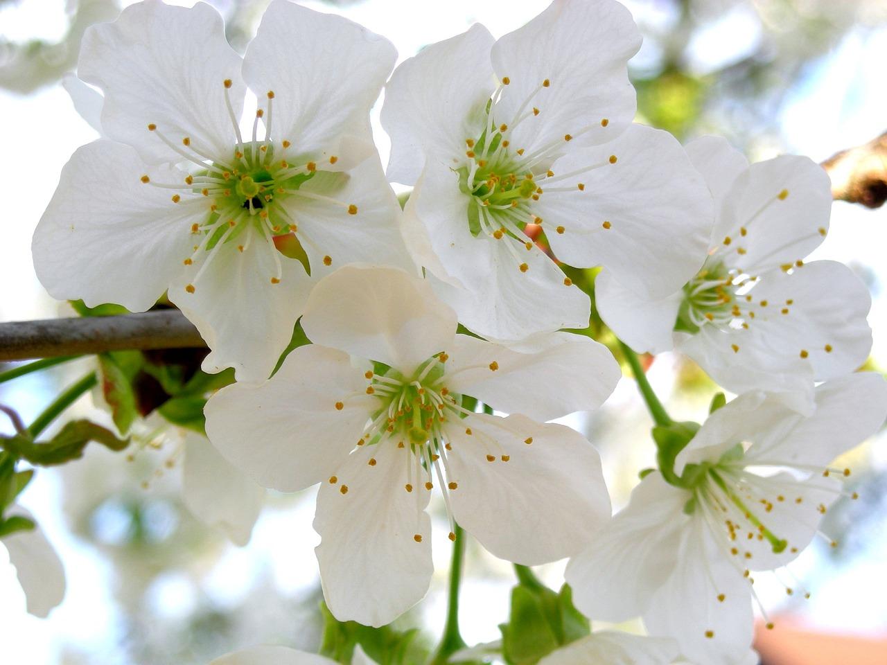 картинки с цветущими вишнями