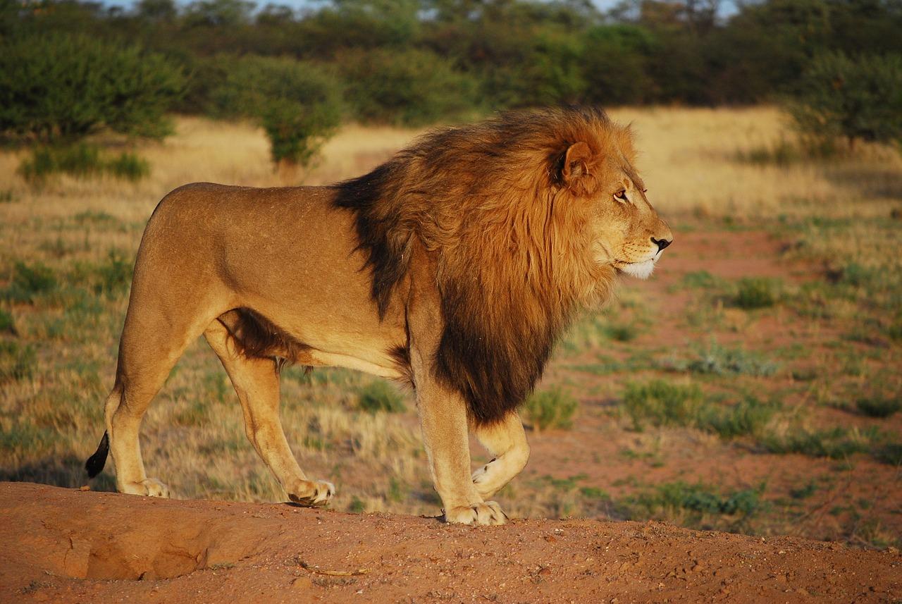 картинки гордость льва них, который действует