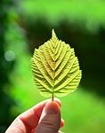 leaf, back light, close