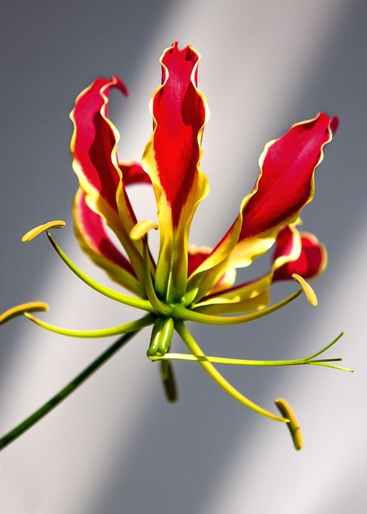 free photo gloriosa flower climber plant free image