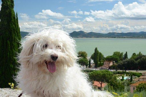 Dog, Hairy, White, Maltese, View