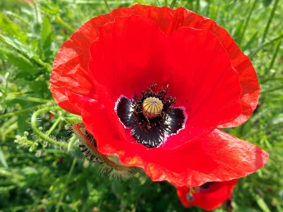 Red weed flower free photo on pixabay red weed flower red poppy mightylinksfo