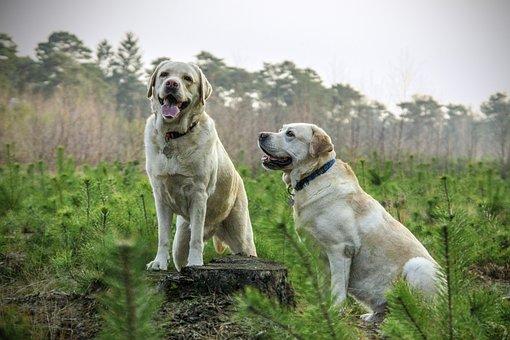 Labrador, Raça, Cães, Animal, Animais