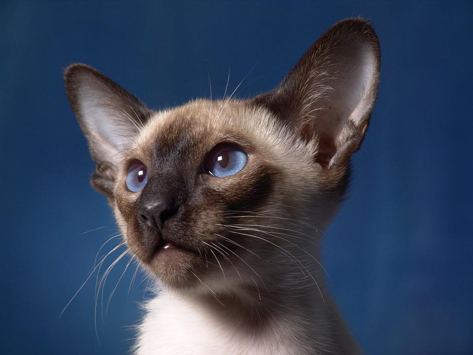 Best Food For Siamese Kittens