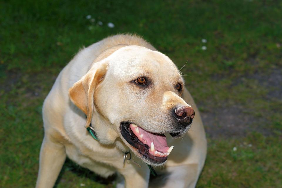 Foto Gratis: Perro, Labrador, Macho, Mascotas