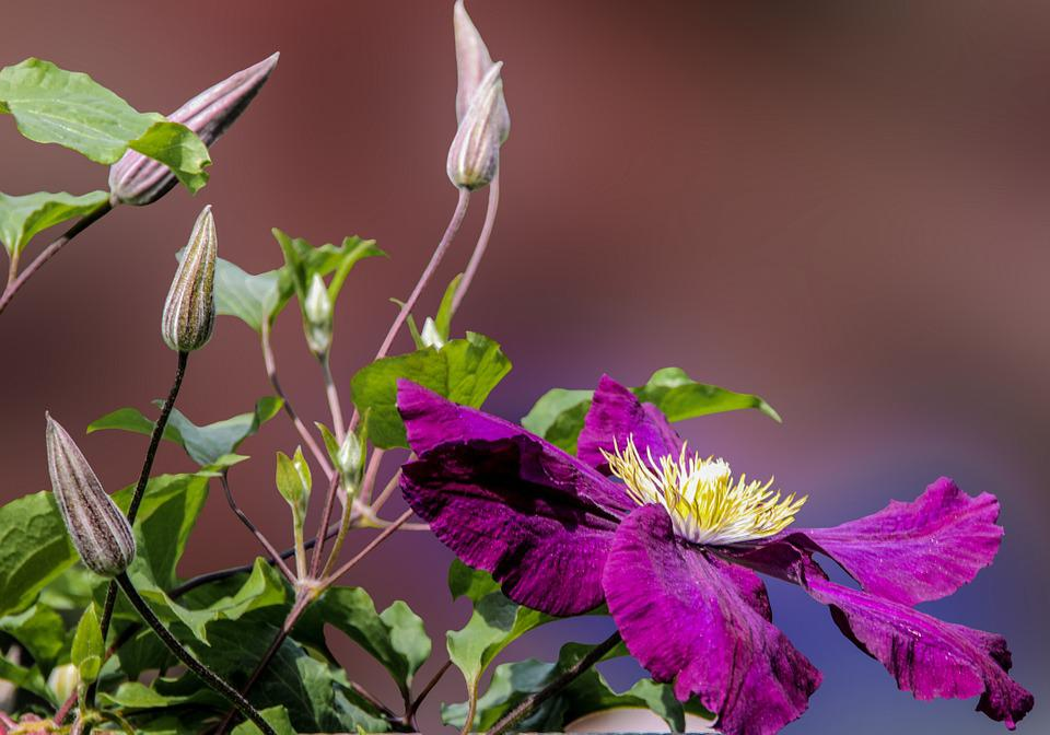Flower, Blossom, Bloom, Clematis, Close Up, Purple, Bud