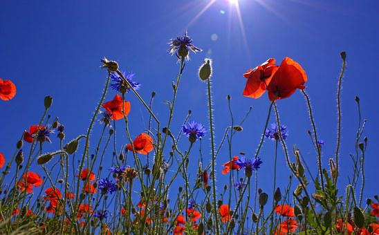 Field Of Poppies, Nature, Summer