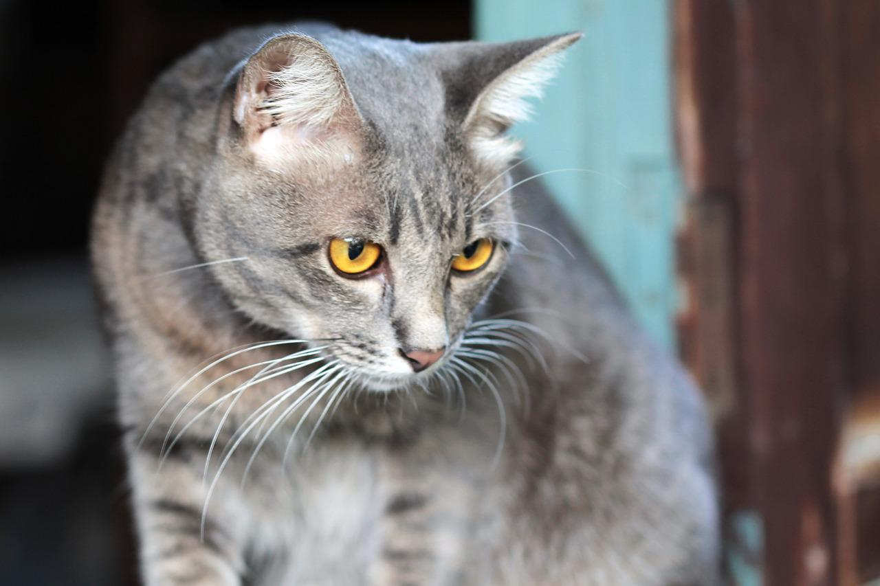 Smoke coat cat