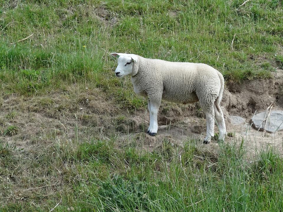 saunatur lam lamb sau natur landskap dyr landskapet eng veneto