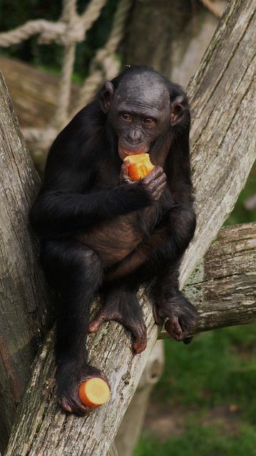 free photo bonobo monkey primate eating free image