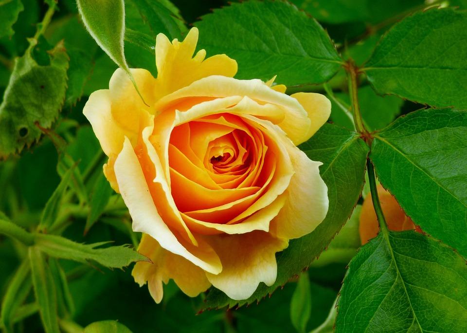 photo gratuite: fleur, rose, jaune, orange, nature - image