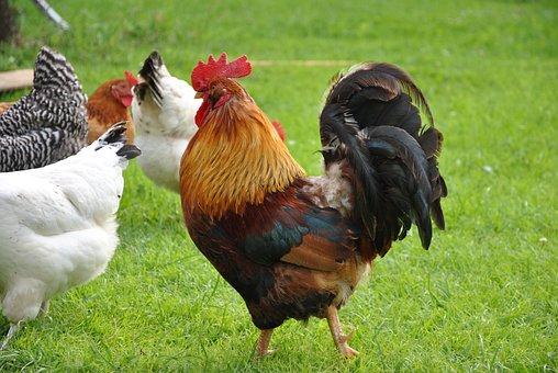 Rooster, Village, Farm, Grass, Farming