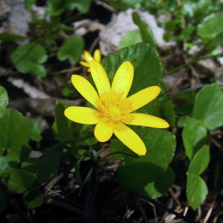 Eranthis Erantis Hiver Fleur Photo Gratuite Sur Pixabay