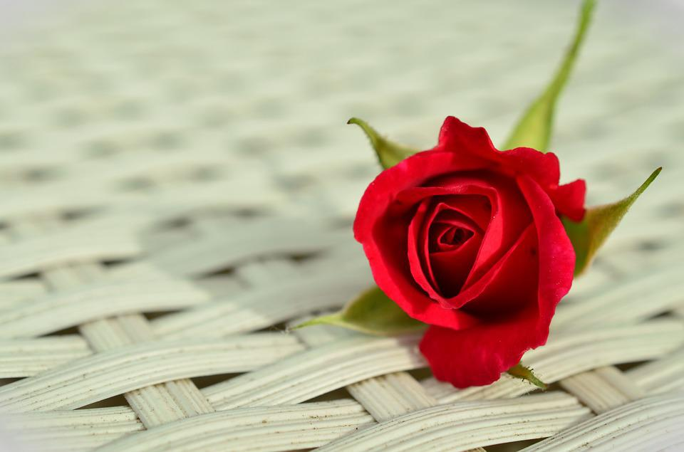 rose red romantic free photo on pixabay