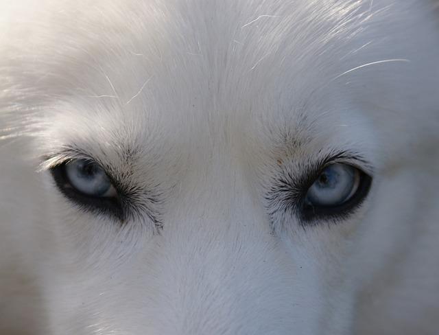 Kostenloses Foto: Husky, Augen, Blau, Hund - Kostenloses