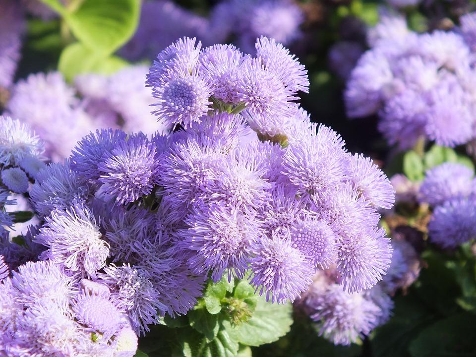 garten blumen lila, leberbalsam blumen lila · kostenloses foto auf pixabay, Design ideen