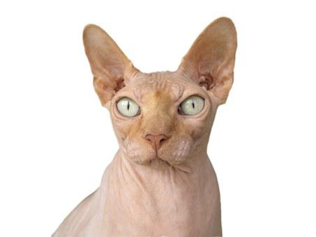 Sphynx Cat Race Cat Bald Hairless Hangover
