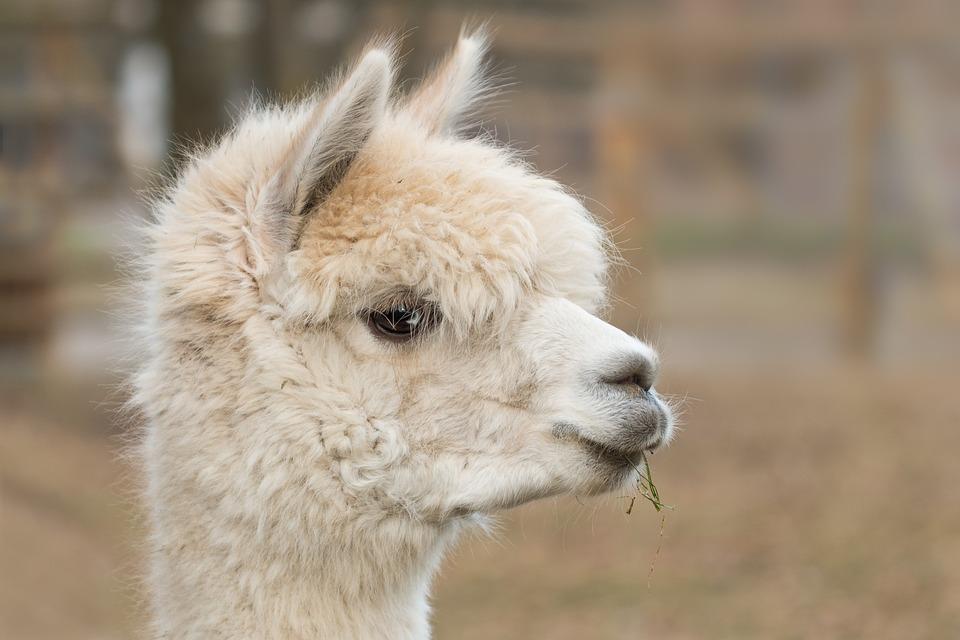 Alpaka, Pako, Säugetier, Wolle, Vicugna Pacos